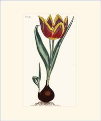 Early Dwarf Tulip
