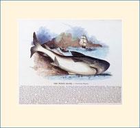 shark, SPCK