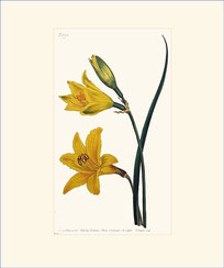 Narrow-leaved Day-Lily