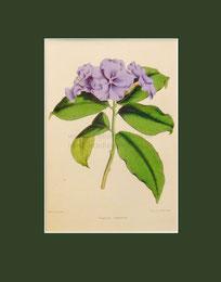 Botanical print, Franciscea