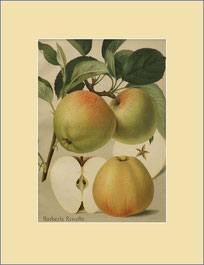 Harberts Renette apple