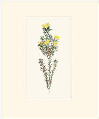 Flax-leaved Gnidia