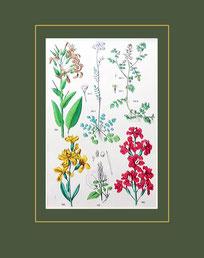 Allinaria Officinalis