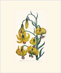 Pompone Lily