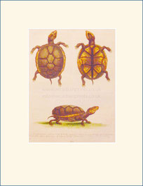 Mud tortoise, George Edwards