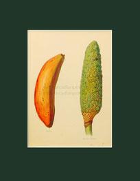 Botanical print, banana