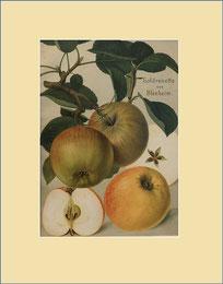Goldrenette von Blenheim apple