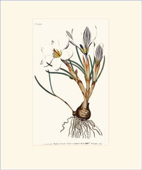 Scotch Crocus