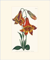 Deep-coloured Canadian Lily