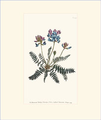 Mountain Milk-vetch