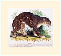 leopard, SPCK