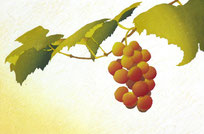 Grape-7  20x30cm