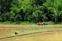 Riziculture : Photo Jean Mas