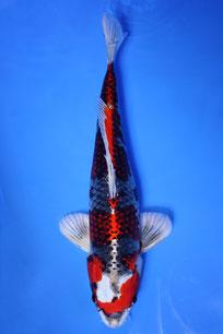 Beni Ginga Katsumi 47cm