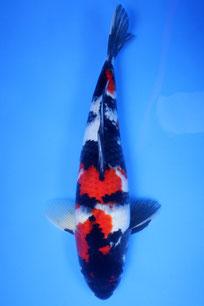 Showa Dainichi 42cm
