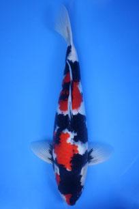 Showa Kawai 45cm