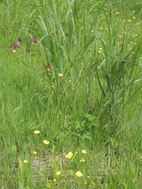 ヤマオダマキとウマノアシガタ(キンポウゲ)。ヤマオダマキは我々のペンション周辺にも咲いています~