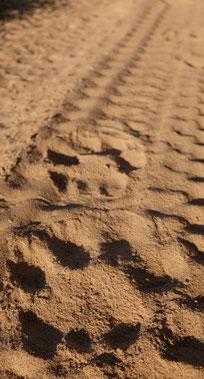 Löwenspuren Serengeti