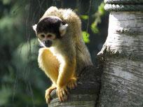 saimiri a tete noire ou singe ecureuil