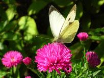 pieride du chou papillon