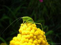 sauterelle de bosc leptophye ponctuee