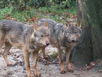 loup iberique