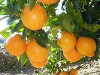 Venta de naranjas online, venta de naranjas por internet