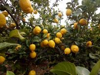 Venta de limones online, venta de limones por internet