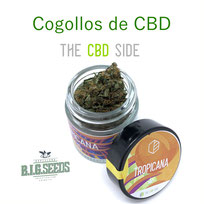 comprar flores cbd big seeds