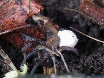 ヒノマルコモリグモ♀ 卵嚢持ち