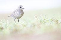 Kiebitzregenpfeifer, Sebastian Vogel, vogelfotografie, bingen am rhein, vogel