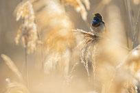 blaukehlchen, vogel, naturfotografie, sebastian vogel, vogelfotografie, rheinhessen
