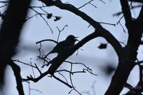 柿の木に停まる野鳥