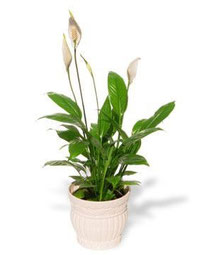 Peace Lily