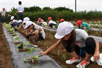 定植する矢切小学校の児童たち