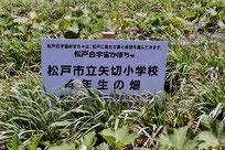 矢切小学校用の畑