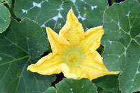 松戸白宇宙かぼちゃの花