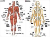 ウォーキングと骨格と筋肉