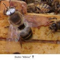 Männliche Biene mit Albinismus