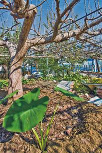 梨の木の手前ですくすく育っているのはサトイモ(上)。松屋梨園の梨畑では様々な野菜が栽培されている。「何もしなかったらお天道様のエネルギーがもったいない」と恒夫さん(下)。