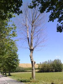 arbre mort à abattre