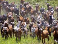 Chèvres du Rove : Une partie des 400 chèvres du troupeau Gouiran
