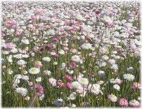 花:エバーラスティング