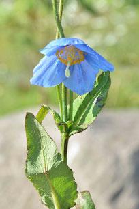 メコノプシスグランディス     (ヒマラヤの青いケシ)