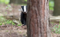 Download Badger watching guide