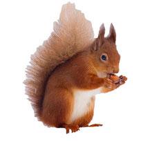 Das Eichhörnschen ist ein Trüffelbaumschädling