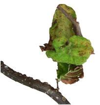 Der östliche Haselnussbrand ist ein Trüffelbaumschädling