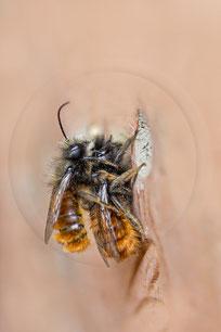 Gehörnte Mauerbiene Osmia cornuta Paarung