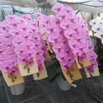 大輪ピンク・湖衣姫