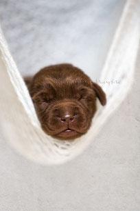 Labrador Welpe 12 Tage alt